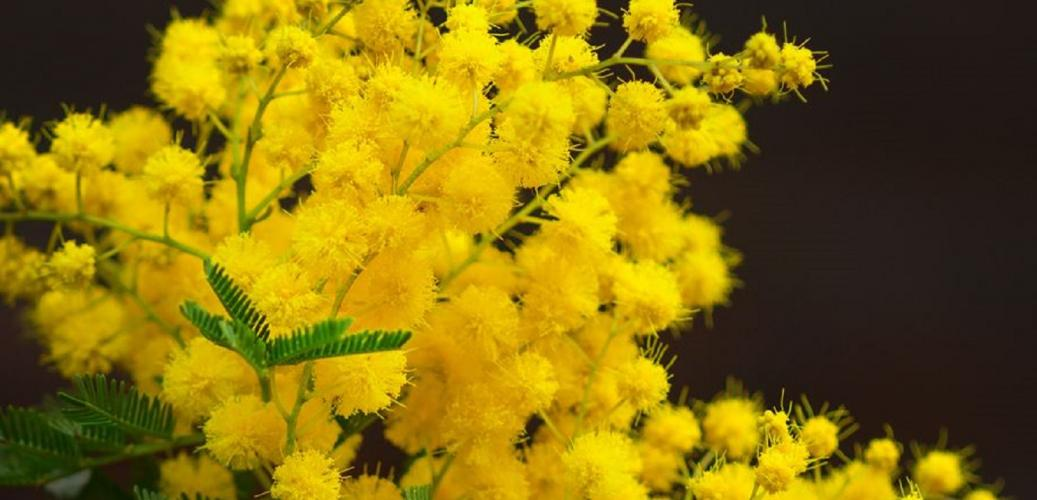 The history of Open Minds and our connection to Wattle Day
